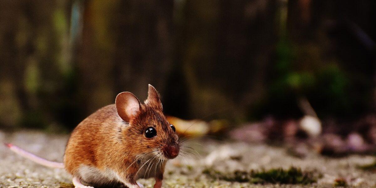 Pot şoarecii să dea dovadă de empatie? Un experiment interesant
